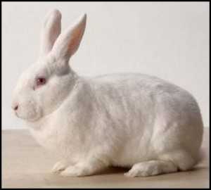 new-zealand-white-rabbit